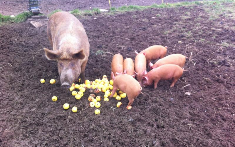 A sow and her piglets enjoying a harvest of apples!
