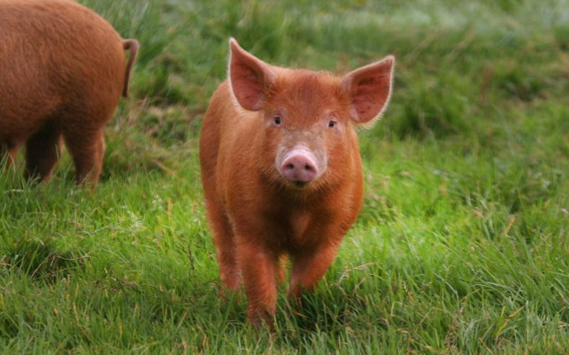 The perfect pig? Come visit at Rigneys Farmhouse