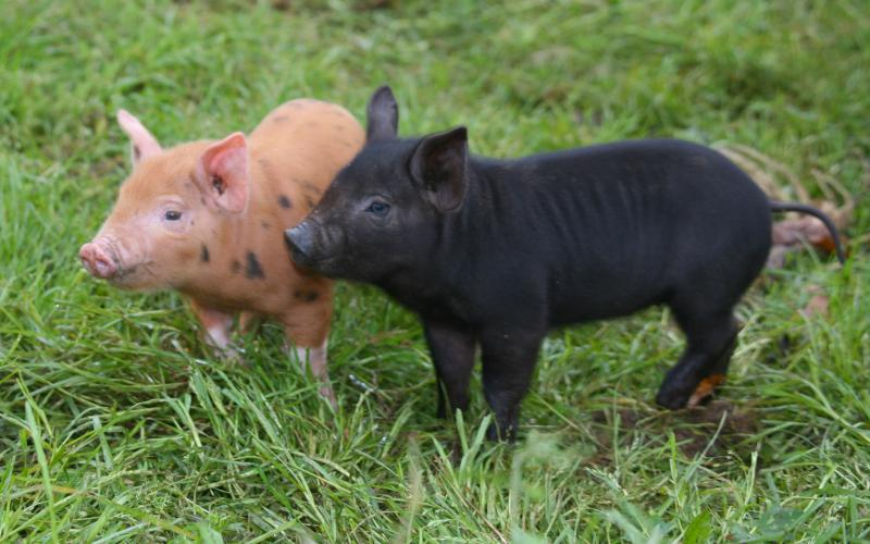 These piglets couldn't be cuter!