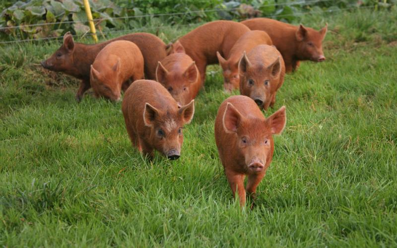 Look at these friendly rust-coloured pigs on Rigneys Farm!