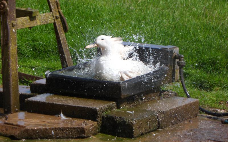 One of our ducks at Rigney's Farm waking up with a shower!