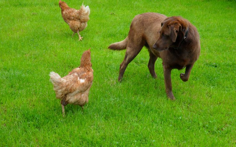 Sally playing with a couple of hens on Rigney's Farm guesthouse