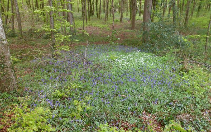 Beautiful bluebells on our doorstep at Rigneys Farm Guesthouse