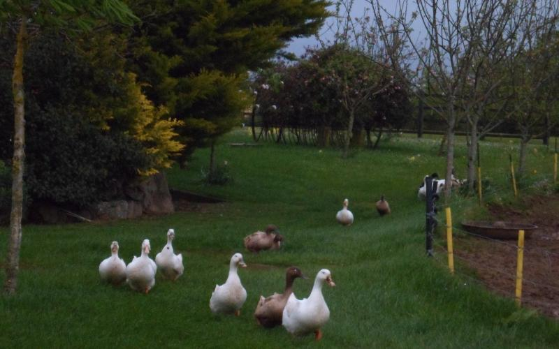 Everyone has a place to go on our farm! Geese Going Home